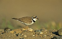 Little Ringed Plover Charadrius dubius adult, calling, Lesbos, Greece, may