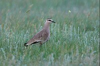 Sociable Lapwing Vanellus gregarius adult, standing in steppe grassland, Aqmola Province, Kazakhstan, june