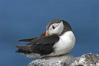 Atlantic Puffin Fratacula arctica adult resting on rocks, roosting, Northumberland, England