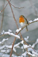 European Robin Erithacus rubecula adult, singing, perched on snow covered stem, West Sussex, England, february