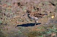 Broad_billed Sandpiper Limicola falcinellus near waters edge, Lesvos, Greece, may