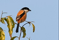 Long_tailed Shrike Lanius schach tricolor adult, perched in tree, Chitwan, Nepal, january
