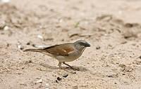 Grey_headed Sparrow Passer griseus adult, feeding on grain, Senegal