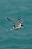 Aleutian Tern Sterna aleutica adult, breeding plumage, in flight over sea, Hong Kong, China, may