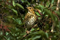 Song Thrush Turdus philomelos On elderberry _ Norfolk _ October S