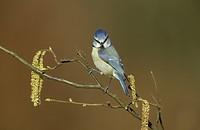 Blue Tit Parus caeruleus On hazel catkins