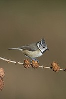 Crested Tit Parus cristatus adult perched on larch cones, Inverness_shire, Scotland, winter