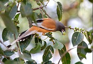 Rufous Treepie Dendrocitta vagabunda adult, feeding in fruiting tree, Gujarat, India, november