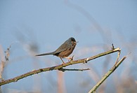 Dartford Warbler Sylvia undata Male on thorny branch _ Dunwich Heath, Suffolk S