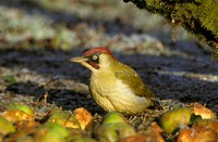 Green Woodpecker Picus viridis Male feeding on apples _ frost S