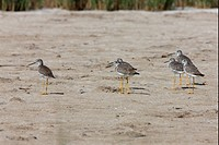 Greater Yellowlegs Tringa melanoleuca six adults, standing on sandflat, Punta Rasa, Buenos Aires Province, Argentina, january