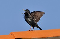 Spotless Starling Sturnus unicolor adult male, singing and wing flapping, perched on roof, Monfrague, Extremadura, Spain, april