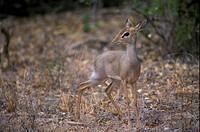 Antelope _ Dik Dik Kirk´s Madoqua kirkii female