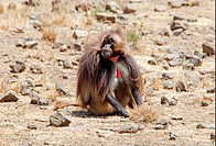 Gelada Baboon Theropithecus gelada adult male, sitting on stony ground, Debre Libanos Gorge, Oromia, Ethiopia, april