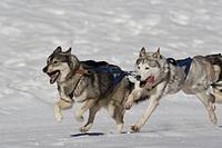 schlittenhunde beim rennen