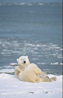 Polar Bear Ursus maritimus adult, relaxing on snow, Churchill, Manitoba, Canada