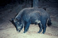 Boar_Wild / Standing / sniffing soil Boar_Wild / Standing / sniffing soil Sus scrofa