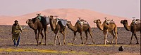 Dromedary Camel Camelus dromedarius adults in train, with Berber herder in desert, near Merzouga, Sahara, Morocco, spring