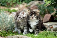 Domestic Cat Felis catus Maine Coon, kittens in garden