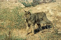 Jungle Cat Felis chaus Walking across arid land _ Israel