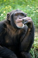 Chimpanzee Pan t troglodytes Male with hand to mouth _ Feeding