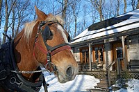 Canada, Quebec Province, Monteregie Region, Rigaud, La Sucrerie de la Montagne sugar hut, horse in front of the general store