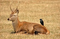 Red Deer Cervus elaphus male resting with Eurasian Jackdaw Corvus monedula on back, Richmond, England
