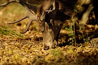 Red Deer Cervus elaphus stag, feeding on Sweet Chestnuts, Richmond Park, London, England