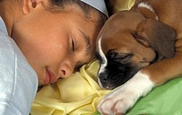 Domestic Dog, Boxer puppy sleeping with girl
