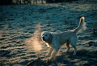 Domestic Dog Golden Retriever playing with stick _ frosty morning _ breath showing