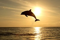 Bottle_nosed Dolphin Tursiops truncatus Adult leaping at sunset, Roatan, Honduras, Caribbean Sea