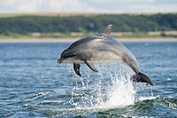 Bottlenose Dolphin Tursiops truncatus adult, breaching, Chanonry Point, Black Isle, Moray Firth, Scotland