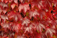 Wilder Wein _ Virginia creeper 13