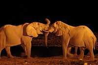 African Elephant Loxodonta africana adults greeting each other at night, Etosha, Namibia