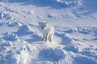 Arctic Fox Alopex lagopus Standing on snow