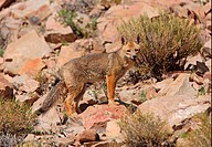 Colpeo Zorro Dusicyon culpaeus adult, standing on rocky hillside, Jujuy, Argentina, january