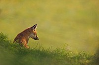 European Red Fox Vulpes vulpes cub, overlooking meadow at dawn, Derbyshire, England