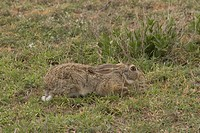 African Hare,Tanzania, Africa Lepus capensis,