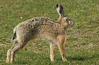 European Hare Lepus europaeus adult, stretching, Sunderland Farm, Islay, Inner Hebrides, Scotland, spring