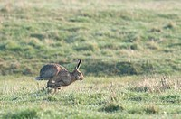 European Hare Lepus europaeus adult, running, North Kent Marshes, Kent, England, spring