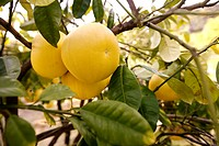 France, Alpes Maritimes, Palais Carnoles Carnoles Palace, Kao Pan grapefruit India, citrus fruit