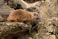 Rock Hyrax Heterohyrax brucei adult, standing on rock, Lake Nakuru N P , Kenya, october