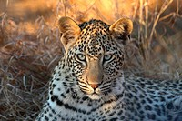 Leopard Panthera pardus cub, eight months old, close_up of head, Sabi Sand Game Reserve, South Africa