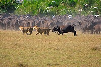 Lion Panthera leo Hunting females being chased by African Buffalo from herd _ Okavango, Botswana