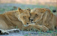 Lion Panthera leo two females bonding, rubbing heads together, Moremi Game Reserve, Botswana