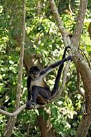 Geoffroy´s Spider Monkey Ateles geoffroyi adult in tree, Roatan, Honduras