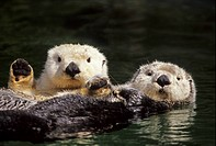 Sea Otter Enhydra lutris two adults, laying on backs in water