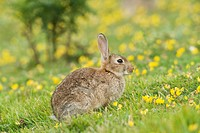 European Rabbit Oryctolagus cuniculus adult, sitting, on coastal grassland, North Downs, Folkestone, Kent, England, summer