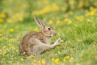 European Rabbit Oryctolagus cuniculus adult, stretching leg, sitting on coastal grassland, North Downs, Folkestone, Kent, England, summer