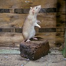 RatBrown Rattus norvegicus Standing on back legs on brick / indoors